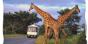 Tour-coach-in-the-Kruger-national-Park-300×1931