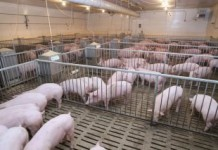 Texas Spend Money Cooling Pigs