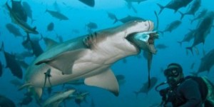 Shark Diving South Africa (1)
