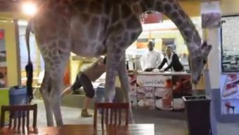 Giraffe Roams Through Park Food Court In South Africa