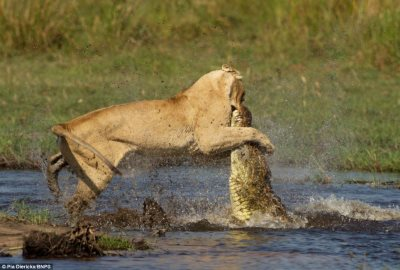 Motherly Pride: Brave Lioness Takes On Deadly Crocodile