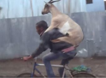 Goat Riding Man Riding Bike