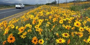 Cape Town Wild Flowers (2)