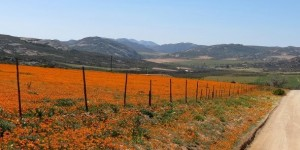 South Africa Wild Flowers (1)