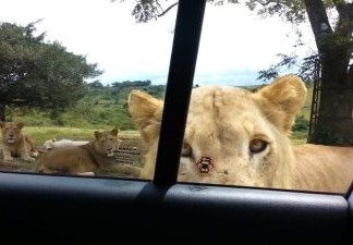 WATCH: Lion Opens Car Door During South African Safari