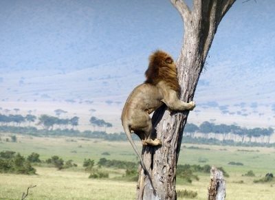 Coward Lion Climbs Tree To Escape Herd Of Buffalo