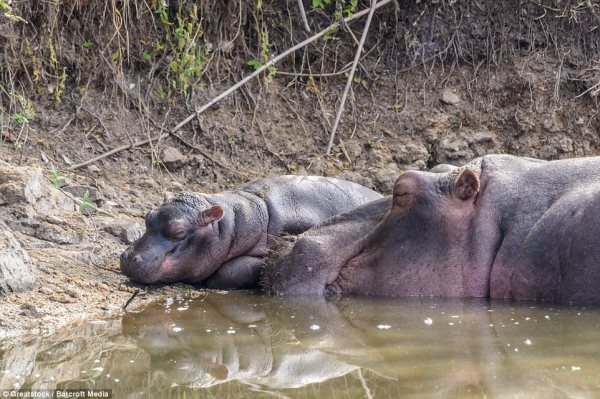 Incredible photos show the moment a protective mother hippopotamus takes a chunk out of a crocodile Read more: http://www.dailymail.co.uk/news/article-3132538/Now-hungry-hippo-Incredible-photos-moment-mother-hippopotamus-taking-chunk-crocodile-South-Africa.html#ixzz3dukOdELT Follow us: @MailOnline on Twitter | DailyMail on Facebook