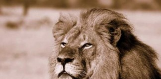 Zimbabwe's 'Iconic' Lion Cecil Murdered By American Animal Killer