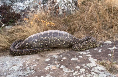 Python Dies After Prickly Meal