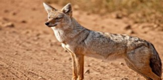DNA Proves It: African 'Golden Jackal' Is Really A Golden Wolf