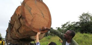 China's Appetite For Wood Is Devastating West Africa's Forest