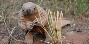 Chinese Immigrants In Africa Are Eating This Rare Pangolin Into Extinction