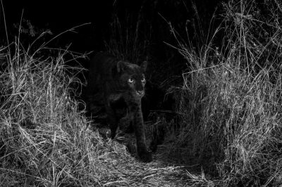 Return Of The King: Black Panther Spotted In Africa For First Time In 100 Years